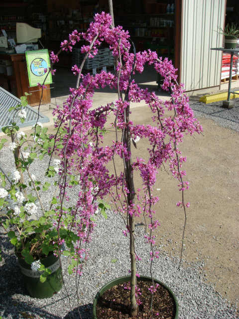 Cercis_Lavender_Twist_Red_Bud_Container640x480