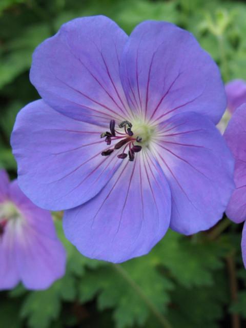 Geranium_Rozanne_Perennials_Flower640x480