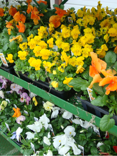Pansies_Annuals_ShelfCart640x480